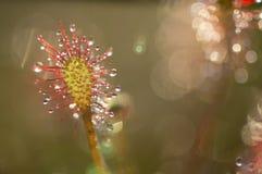 Роса Солнця Стоковая Фотография RF