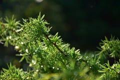 Роса утра на вечнозеленых листьях можжевельника Стоковые Фотографии RF