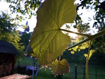 Роса утра на лист лозы Стоковая Фотография RF