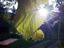 Роса утра на лист лозы Стоковые Изображения RF