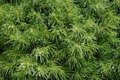 роса bush coniferous стоковая фотография rf