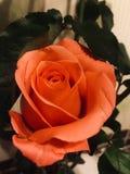Роскошная роза апельсина стоковые фотографии rf