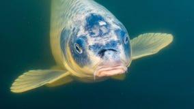 Роскошь воды рыб пруда карпа Koi дорогая стоковая фотография