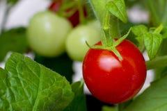 росли органическая красная зрелая лоза томата Стоковое Изображение RF
