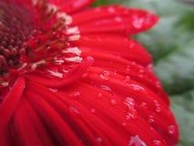 Росная маргаритка Gerbera Стоковые Изображения RF