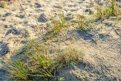 Росная трава в песочной природе от конца Стоковая Фотография RF