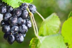 росные виноградины солнечные стоковое фото