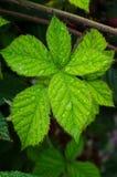 Росные лист ежевики Стоковые Изображения RF