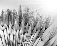 Росный одуванчик Стоковые Изображения