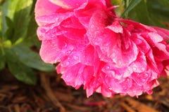 Росный пион Стоковое Изображение RF