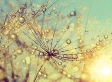 Росный цветок одуванчика Стоковое Изображение