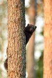 Росомаха на дереве Стоковое Фото