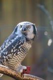 Российская Федерация России Сибиря птицы леса сыча захватническая Стоковая Фотография RF