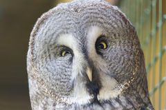 Российская Федерация России Сибиря птицы леса сыча захватническая Стоковое фото RF