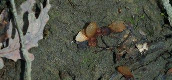 Россия Семена леса зимы клена стоковая фотография