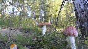 Россия, Сибирь, гриб пластинчатого гриба мухы в роще березы в предместье Иркутска 31-ого августа 2016 Стоковое Изображение