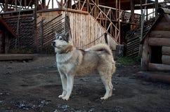 Россия Собака маламута породы в ` Talvi Ukko ` cattery собаки 14-ое ноября 2017 Стоковые Фотографии RF
