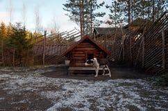 Россия Собака осиплой породы в ` Talvi Ukko ` cattery собаки 14-ое ноября 2017 Стоковое Фото