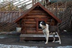 Россия Собака осиплой породы в ` Talvi Ukko ` cattery собаки 14-ое ноября 2017 Стоковые Изображения
