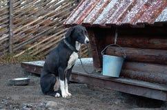 Россия Собака осиплой породы в ` Talvi Ukko ` cattery собаки 14-ое ноября 2017 Стоковое Изображение