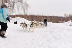 Россия kazan 14-ое февраля Выследите команду скелетона сибирских лайок вне mushing на снеге вытягивая скелетон который из рамки ч Стоковые Изображения RF