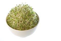 ростки альфальфы органические стоковая фотография