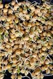 Ростки гороха Стоковая Фотография RF