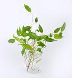 Ростки зеленого вала ficus Стоковые Фото
