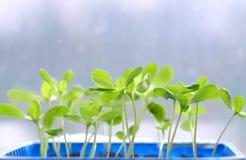 Ростки зеленого растения Стоковое Изображение RF