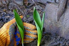 Ростки зеленых тюльпана и руки в перчатке Стоковое Фото
