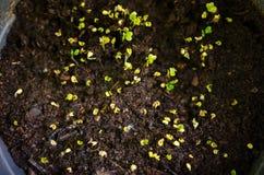 Ростки листовой капусты Стоковая Фотография
