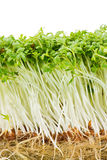 ростки кресса изолированные садом Стоковое Фото