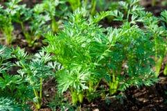 ростки моркови зеленые Стоковое фото RF