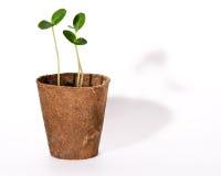ростки огурцов Стоковое Изображение