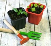 Ростки перца и петуньи с садовыми инструментами на белых планках, конца вверх Стоковая Фотография