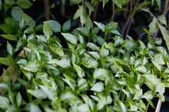 Саженцы перца, молодая листва перца, саженцев весны стоковая фотография rf