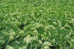 ростки поля brussel Стоковое фото RF