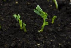 ростки почвы гороха стоковые фотографии rf