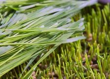 Ростки пшеницы зеленые, сырцовое диетическое питание, растя Стоковое Изображение RF