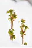 Ростки смородины в сугробе Стоковые Фото