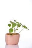 Ростки тыквы в баке Стоковое фото RF