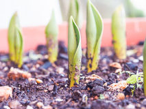 Ростки тюльпана Стоковая Фотография
