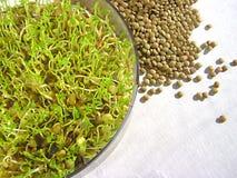 ростки чечевицы Стоковое Изображение