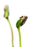 ростки Стоковое Фото
