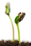 ростки Стоковое Изображение