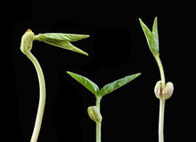 ростки Стоковое Изображение RF