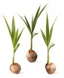 Росток вала кокоса. Стоковые Изображения