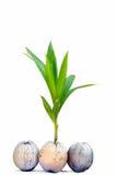 Росток вала кокоса Стоковая Фотография RF