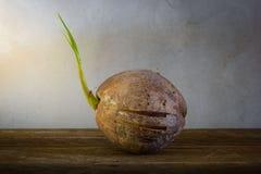 Росток вала кокоса Стоковое Изображение RF