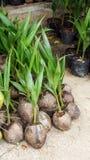 Росток вала кокоса Стоковое Изображение
